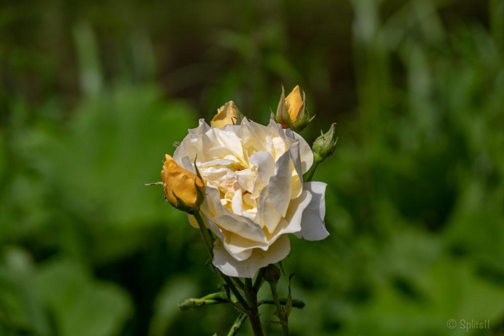 Rose an der Burg Linn